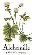 Achemille ou manteau des dames est une plante médicinale la partie employée est la plante entiere reconnue pour ses qualitées favorisant la digestion