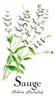 La sauge salvia offinalis à une odeurs et saveur aromatiques mais aussi des vertus medicinales d'etre antiseptique et diuretique