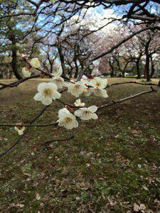 20150311小金井公園へ梅を見に散歩に出掛けました。11