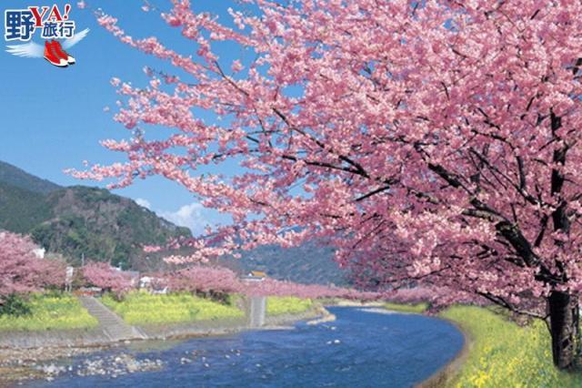 日本最早開的櫻花 2018河津櫻花祭浪漫登場 @YA !野旅行-玩樂全世界