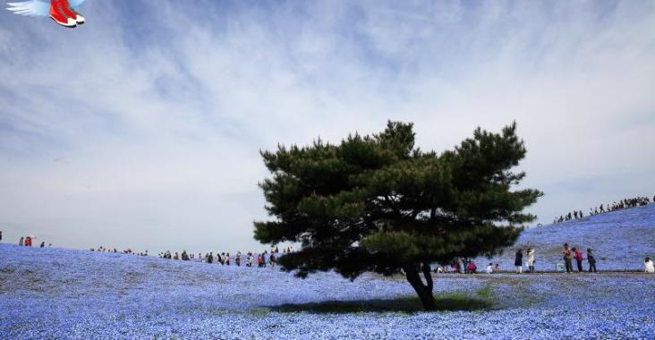 北關東春天最浪漫的風景 常陸海濱公園粉蝶花海 @YA !野旅行-玩樂全世界