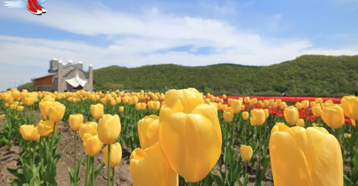 上湧別擁抱百萬株鬱金香 太陽之丘芝櫻花毯綻放 @YA !野旅行-玩樂全世界