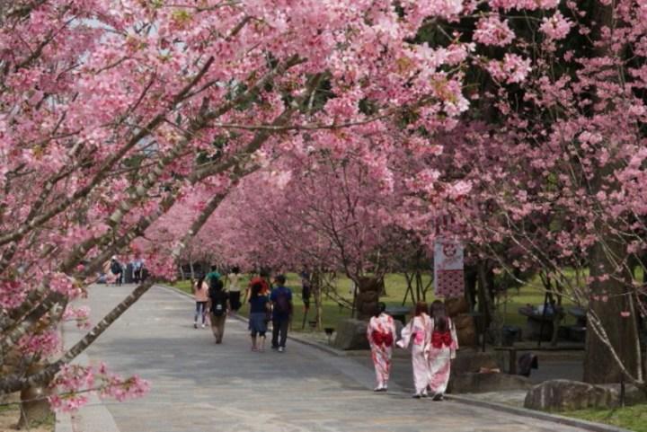 監測3年臺版「櫻花前線情報」出爐 推算九族櫻花祭在春節 @YA !野旅行-吃喝玩樂全都錄