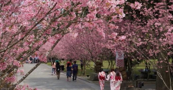 台灣最大的賞櫻盛會–2021九族櫻花祭 30日授旗開跑 @YA 野旅行-陪伴您遨遊四海