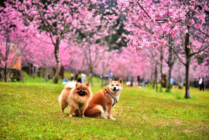 台灣最大的賞櫻盛會–2021九族櫻花祭 30日授旗開跑 @YA !野旅行-吃喝玩樂全都錄