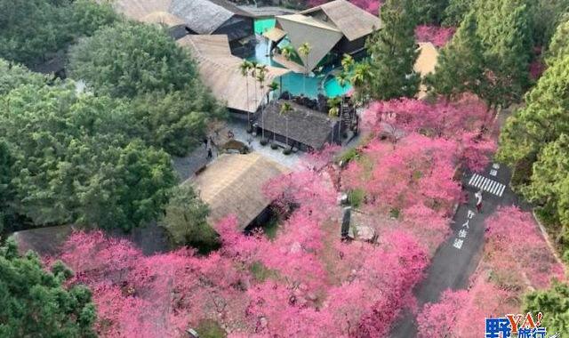 九族櫻花茶會在盛開的櫻花林下舉行,魚池鄉公所招待遊客品啜紅玉紅茶 @YA 野旅行-陪伴您遨遊四海