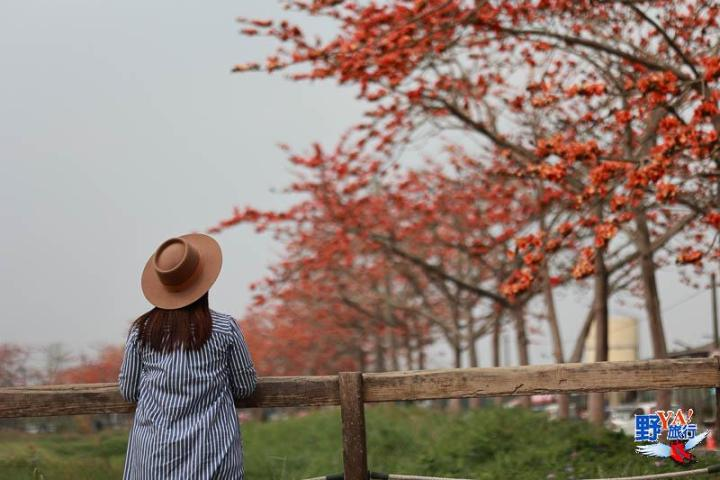 2021白河木棉花季登場 預計花期可到三月底 @YA !野旅行-吃喝玩樂全都錄