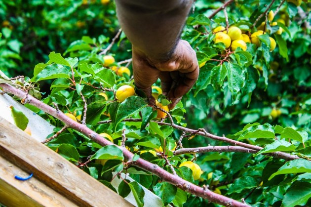 Plucking apricots