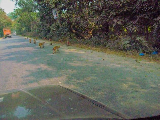Monkeys in the Tanda range