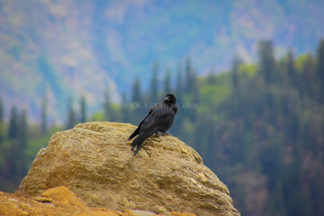 Who has come here? Asks the crow!