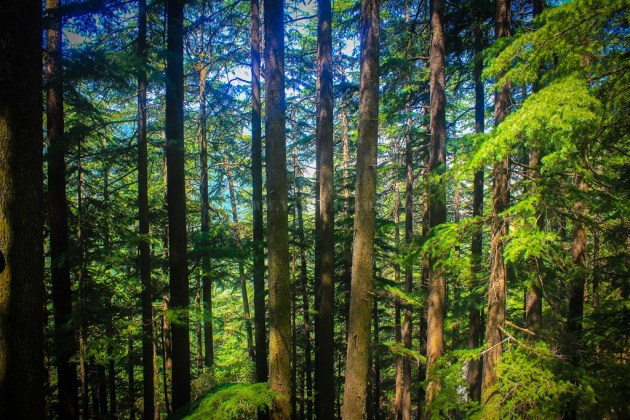 The Deodar trees are tall and dense