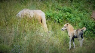 Welsh Mountain ponies ranging wild