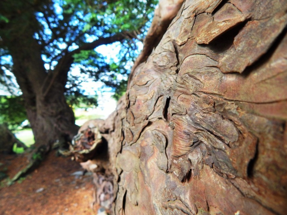 The yew has scales more than bark