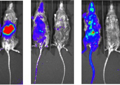 Plasmodium Falciparum In Vivo Liver to Blood Stage in FRG Mice