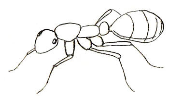 Drawing Of Ant With Body Parts Identified As Head Thorax And
