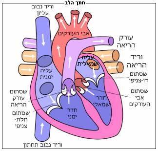 חתך של הלב האנושי
