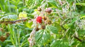 Preserving the Harvest: Raspberries