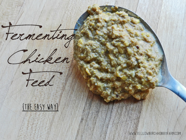 Fermenting Chicken Feed: The Easy Way