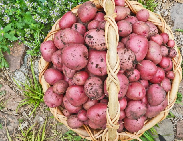 Colorado Rose Organic Potatoes