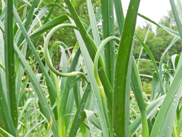 yellow birch hobby farm- garlic scapes