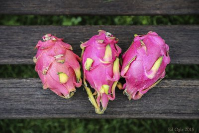 dragon fruit preparation and planting