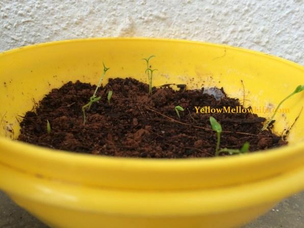 Dragon fruit seed planting