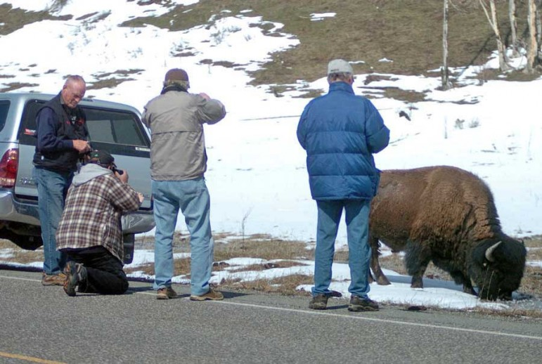 Image result for bison taking picture