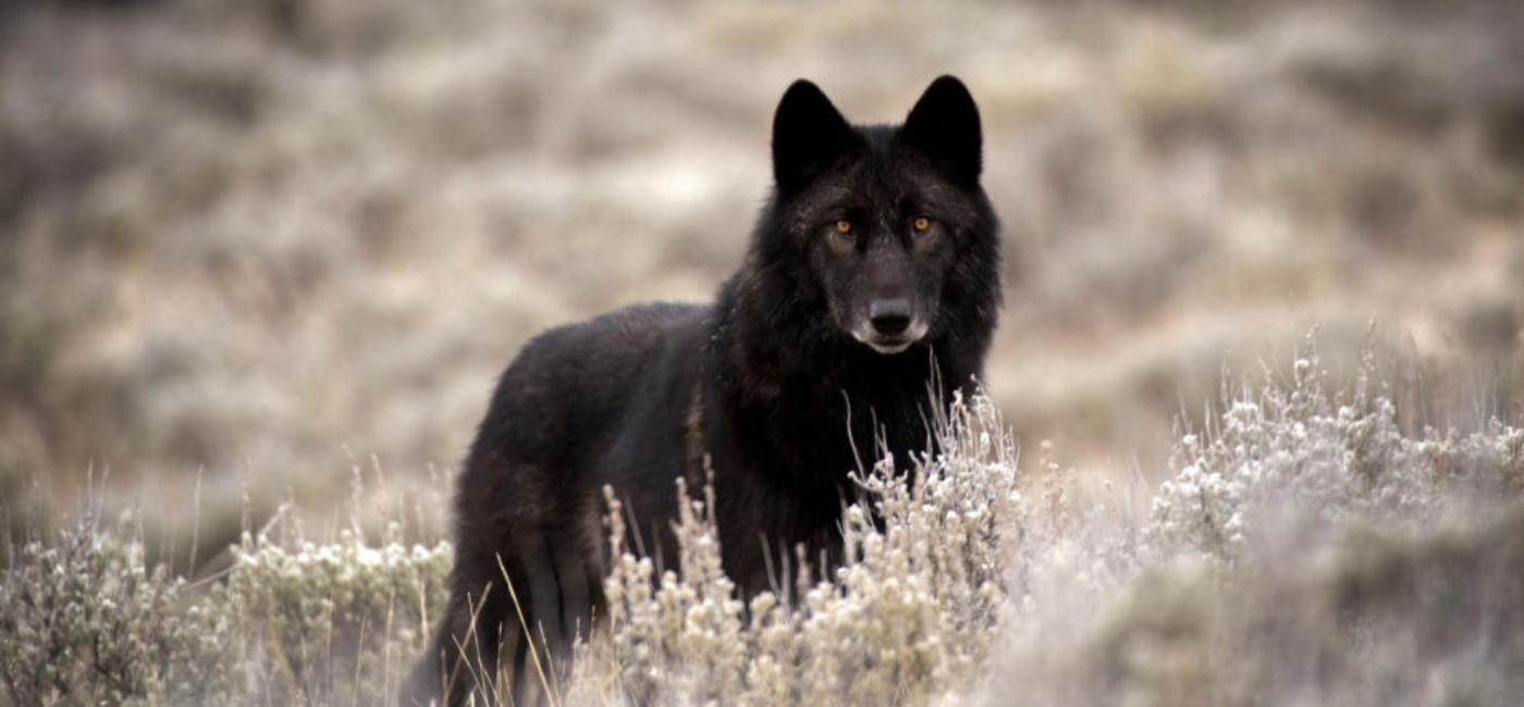 wolf w vignette