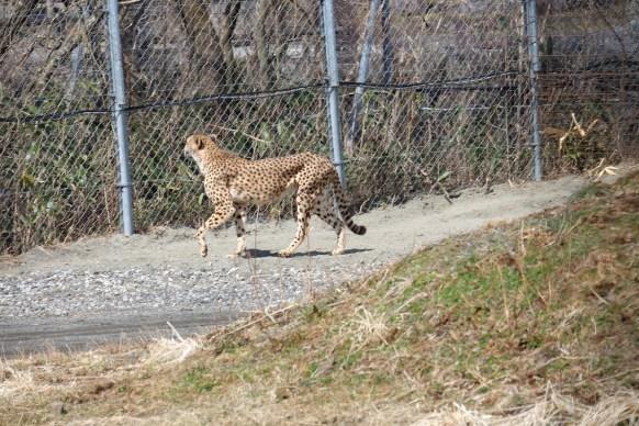 Cheetah at Fuji Safari