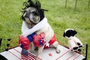Boxing pug