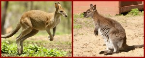 kangaroo wallaby