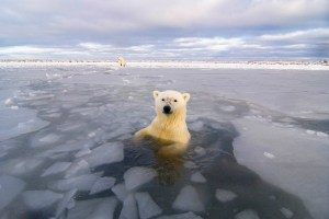 Polar bear breaks ice