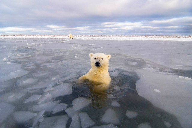 frases para ligar Polar bear breaks ice