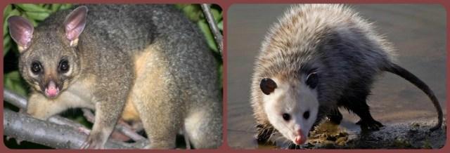 possum opossum