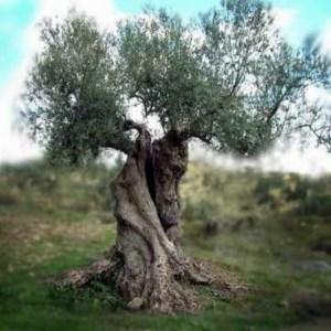 Olijfboom groot