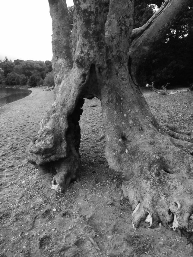 Ancient Tree Black and White Photography