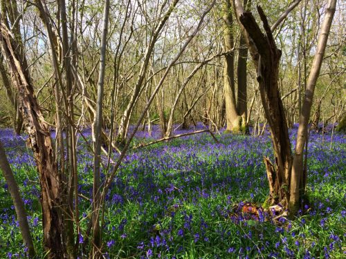 Wild Bluebell Forest Woods Norfolk England Foxley Wood