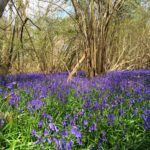Wild bluebell forest Norfolk england