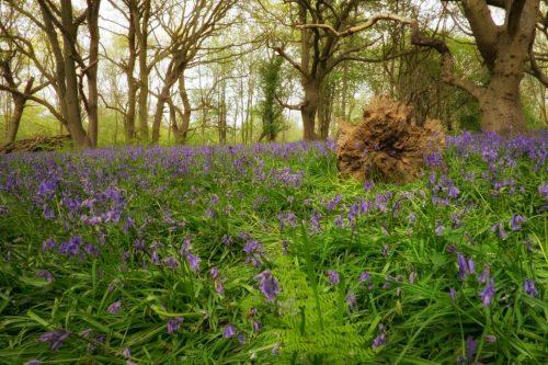 Enchanted forest woodland fairytale wild bluebells wild flowers wild bloom norfolk fairhaven england