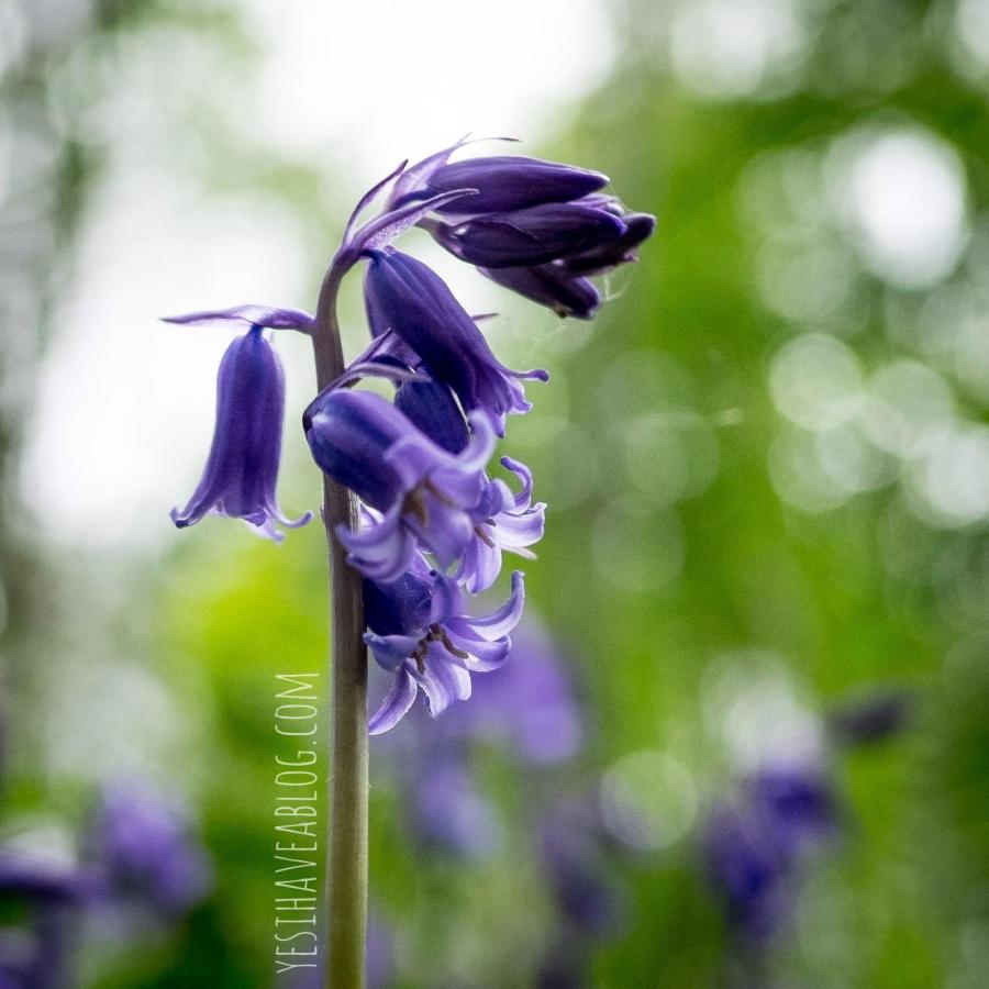 Wild Bloom - Yesihaveablog | The wild bluebells of Norfolk, England bloom between April and May