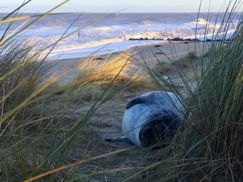 Seal pup nestled in the sand dunes | Seal Watching at Horsey Beach | Yesihaveablog | Winterlust | Life in a Fine City