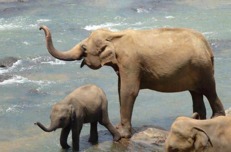 Wild Asian Elephants Bathing   Mother and Baby Elephant   The Gathering Sri Lanka   Yesihaveablog