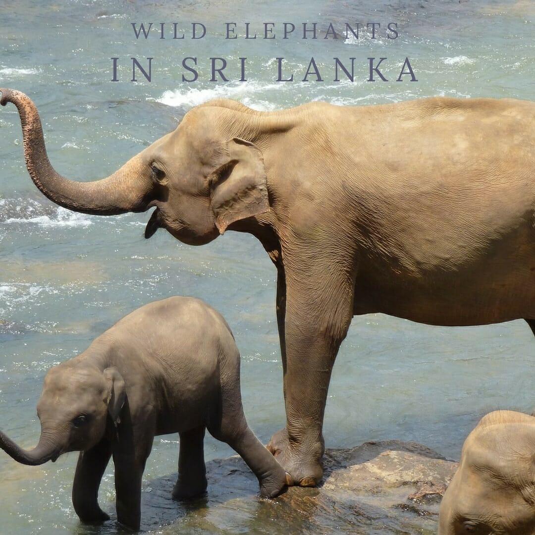 Where to See Wild Elephants in Sri Lanka | Yesihaveablog
