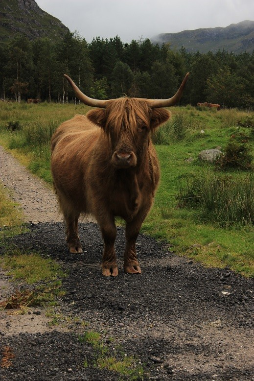 Cape Wrath Trail - Itinerary North to South - Day 12 - Highland Cow