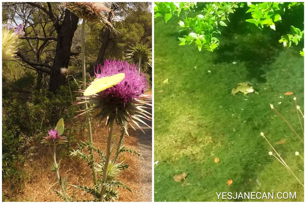 Butterfiles and frogs in Mjlet, Croatia