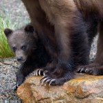 Can Washington State Save the Fewer Than 10 Grizzly Bears It Has Left?