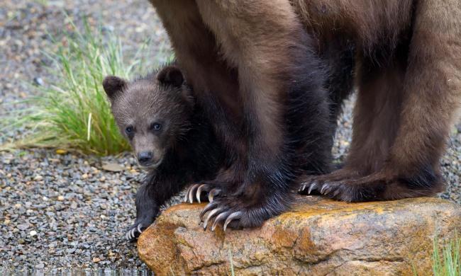 grizzlies.jpg