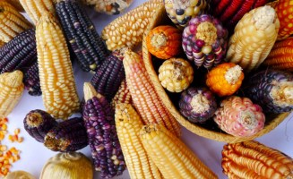 Local maize varieties. Photo by Jonah Vitale-Wolff.
