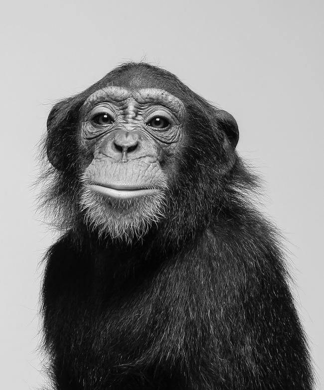 Chimps as Legal People.jpg