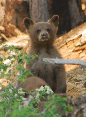 Yosemite-Black-Bear-Cub-YExplore-DeGrazio-2008